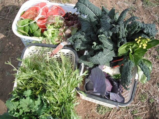 紫キャベツ・・ブロッコリー、カルフラワー 、菜の花、レタス等_c0222448_13154068.jpg