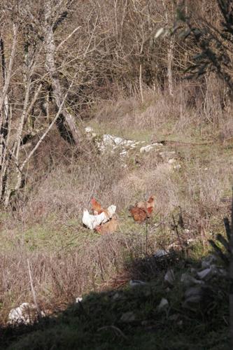 鶏も日向ぼっこ_f0106597_1711259.jpg