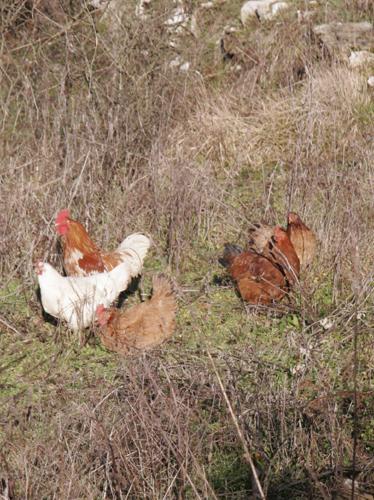 鶏も日向ぼっこ_f0106597_17114898.jpg