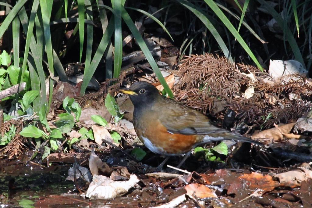 赤白の鳥、アカハラ&シロハラ_b0024798_5114898.jpg