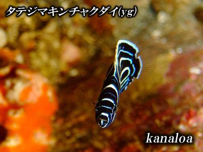Divehouse Kanaloa  八丈島 ダイビングログ_b0189640_227347.jpg