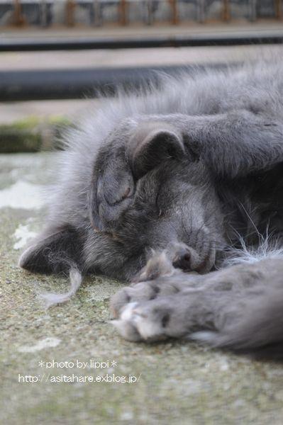 眠い・・・ ギンギツネのギンちゃん_b0024758_23572021.jpg