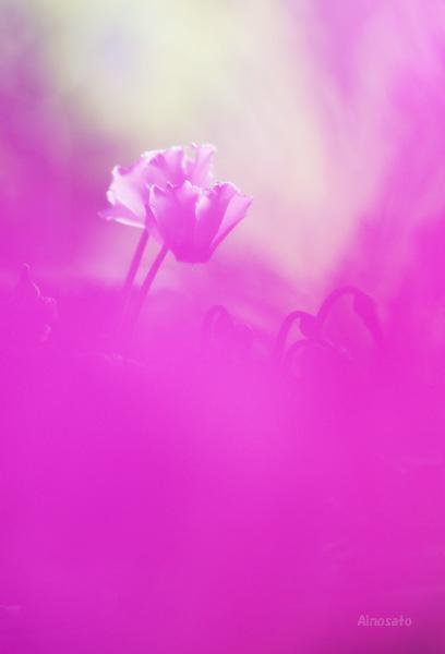 ピンクのシクラメン_b0103798_162389.jpg