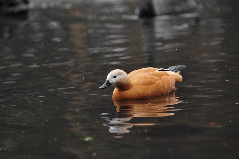 水辺の鳥 アカツクシガモ他_f0053272_14443014.jpg