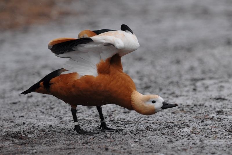 水辺の鳥 アカツクシガモ他_f0053272_1446398.jpg