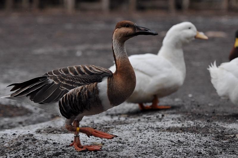 水辺の鳥 アカツクシガモ他_f0053272_1449784.jpg