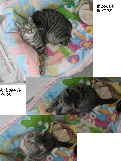 猫じゃらし_b0112380_10545593.jpg