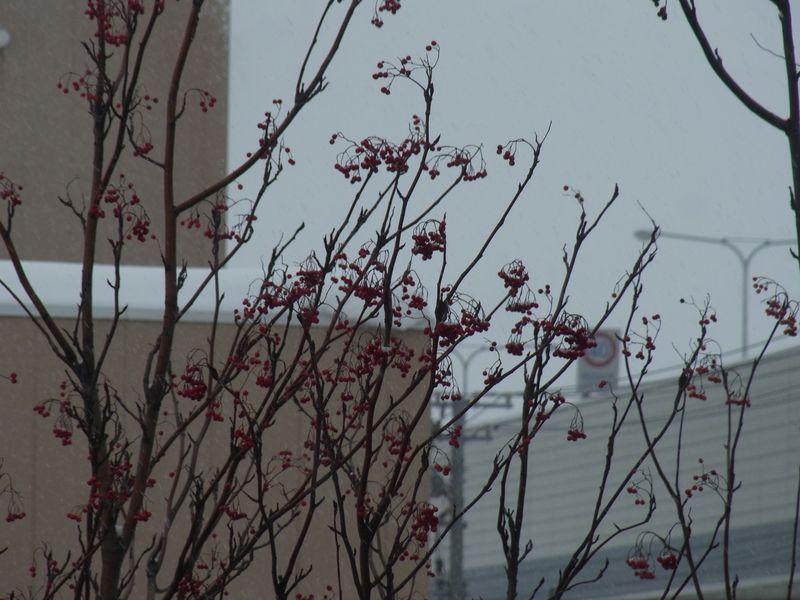 札幌で越冬するヒヨドリ_c0025115_18195848.jpg