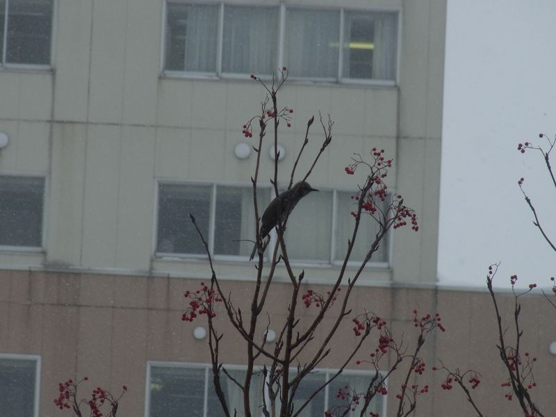 札幌で越冬するヒヨドリ_c0025115_18211721.jpg