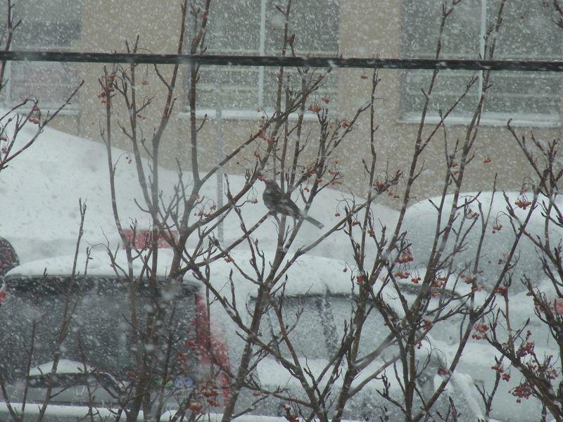 札幌で越冬するヒヨドリ_c0025115_18212557.jpg