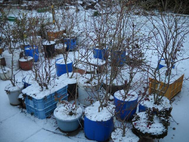 雪のブルーベリー達_f0018078_16185864.jpg