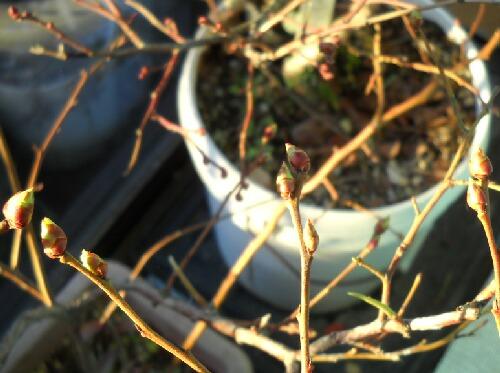 屋内ブルーベリーの花芽緩む_f0018078_1621521.jpg