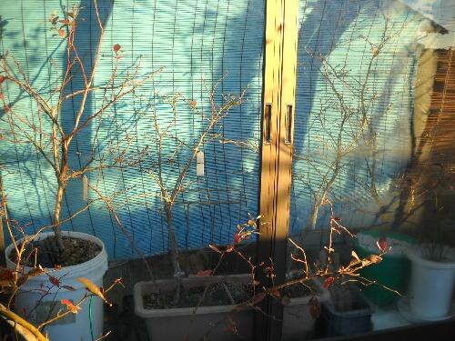 屋内ブルーベリーの花芽緩む_f0018078_1975015.jpg