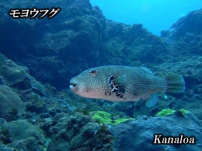 Divehouse Kanaloa  八丈島 ダイビングログ_b0189640_21304812.jpg