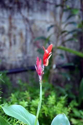 田舎の庭に咲いている草花_e0166355_4211545.jpg