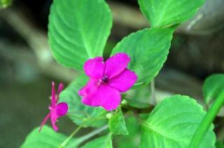 田舎の庭に咲いている草花_e0166355_4215025.jpg