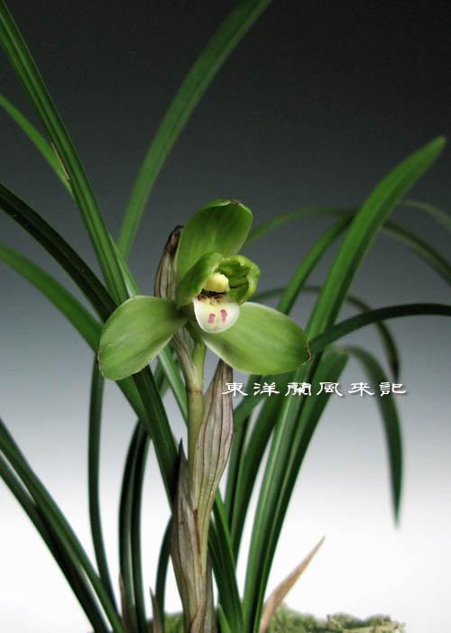 中国春蘭「桂円梅」                  No.933_d0103457_0103435.jpg