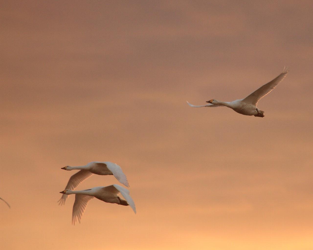 夕日の中を飛ぶコハクチョウ3羽_f0105570_22314596.jpg