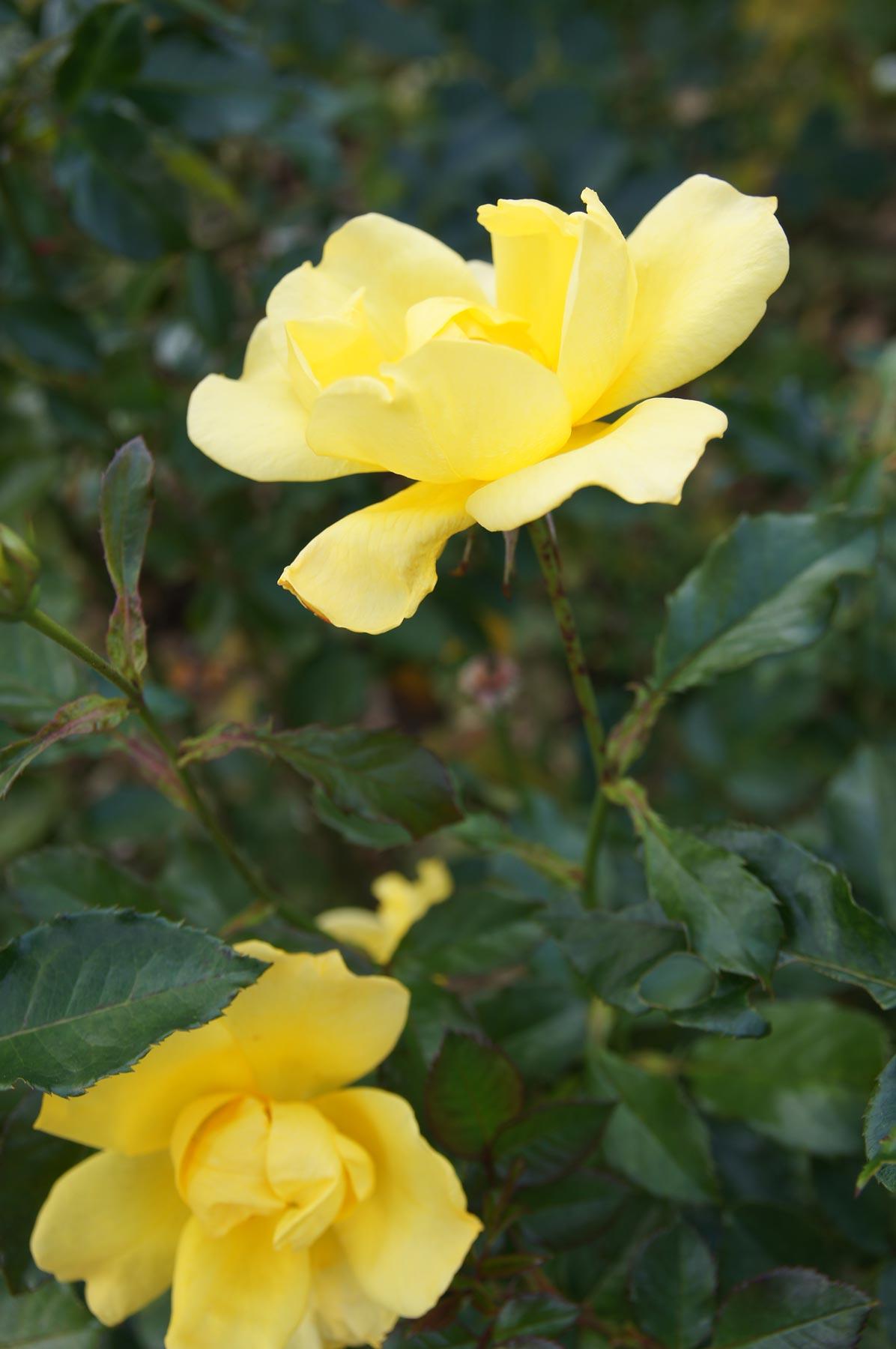rose 1_e0216133_22433242.jpg