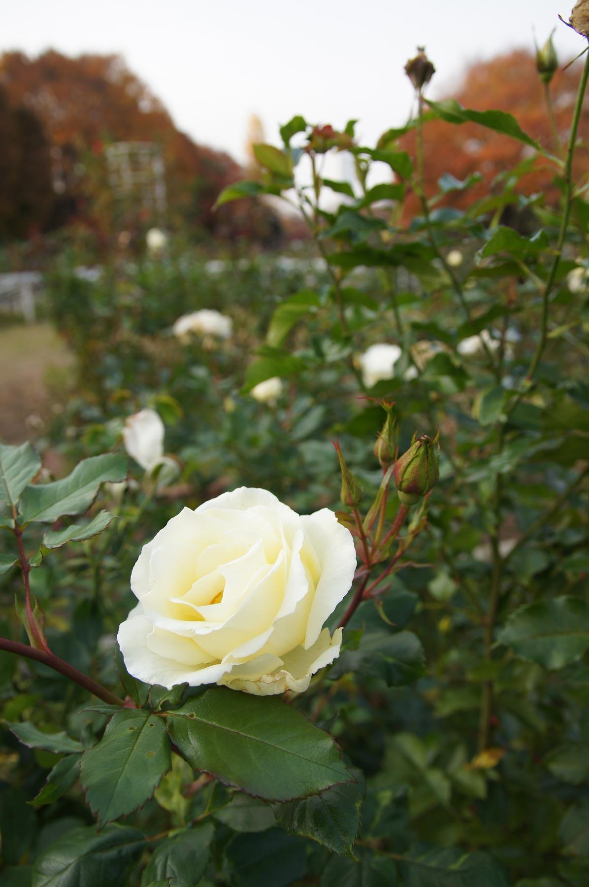 rose 1_e0216133_22433955.jpg