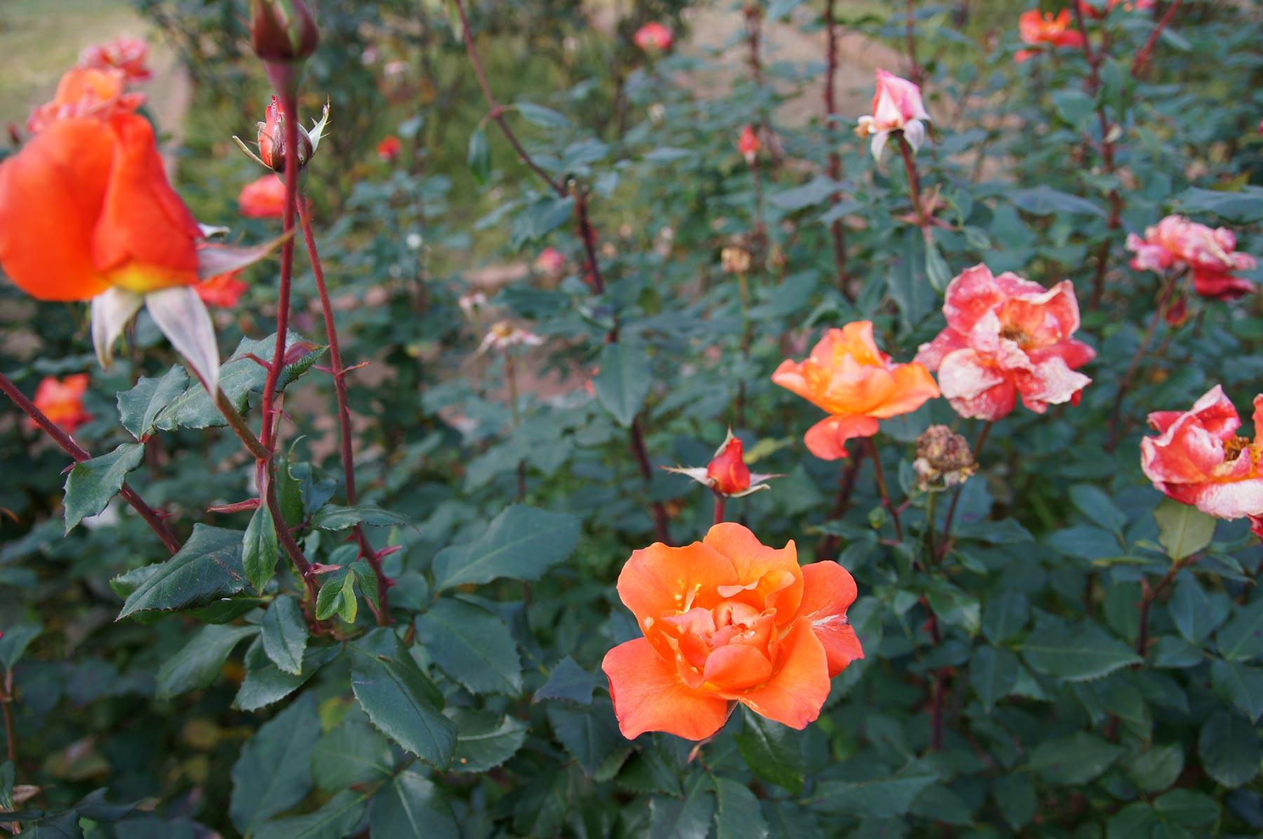 rose 1_e0216133_22435430.jpg