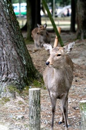 高円の秋野のうへの朝霧に妻呼ぶ牡鹿出で立つらむか_b0048834_69951.jpg