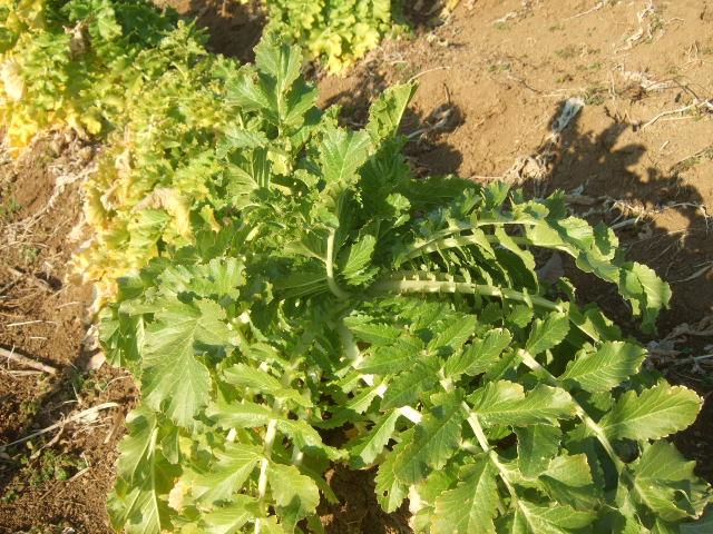 冬野菜の収穫....._b0137932_19171648.jpg