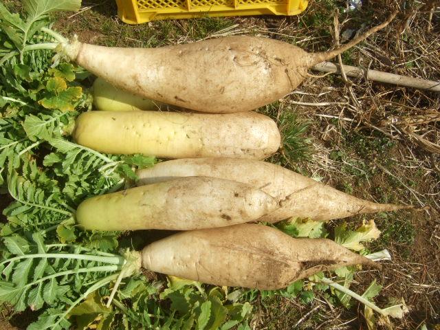 冬野菜の収穫....._b0137932_19173839.jpg