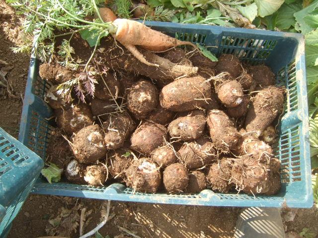 冬野菜の収穫....._b0137932_191822100.jpg