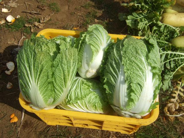 冬野菜の収穫....._b0137932_1918228.jpg