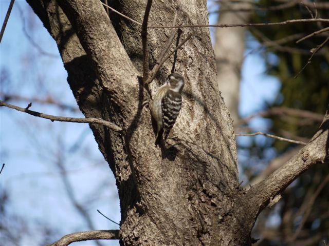 ウォーキングで出会う野鳥たち(*^-^)ニコ_b0175688_13111130.jpg