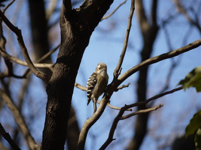ウォーキングで出会う野鳥たち(*^-^)ニコ_b0175688_13112147.jpg