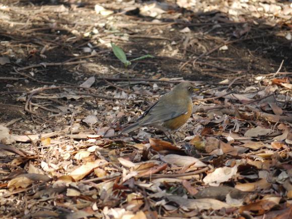 ウォーキングで出会う野鳥たち(*^-^)ニコ_b0175688_13134110.jpg