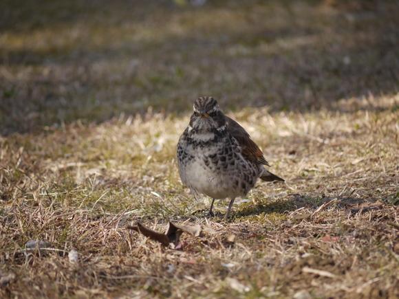 ウォーキングで出会う野鳥たち(*^-^)ニコ_b0175688_13163920.jpg