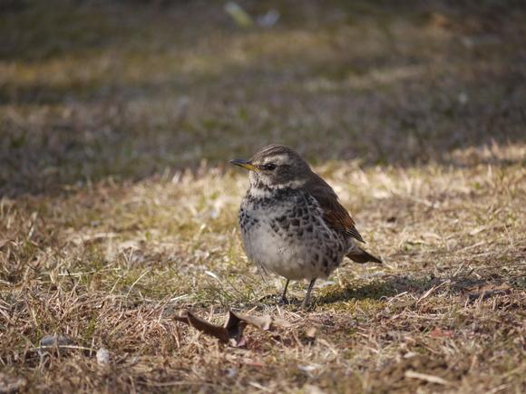 ウォーキングで出会う野鳥たち(*^-^)ニコ_b0175688_13165469.jpg