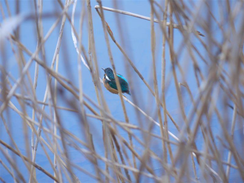 ウォーキングで出会う野鳥たち(*^-^)ニコ_b0175688_13172435.jpg