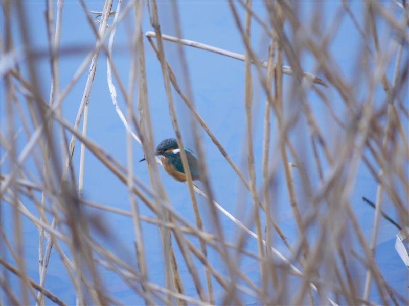ウォーキングで出会う野鳥たち(*^-^)ニコ_b0175688_1317388.jpg