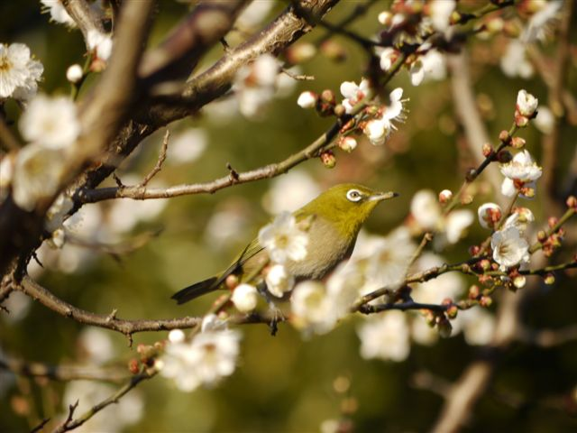 ウォーキングで出会う野鳥たち(*^-^)ニコ_b0175688_1384366.jpg