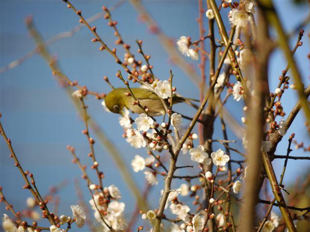ウォーキングで出会う野鳥たち(*^-^)ニコ_b0175688_1385585.jpg