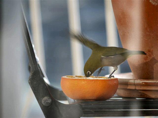 ウォーキングで出会う野鳥たち(*^-^)ニコ_b0175688_1393933.jpg