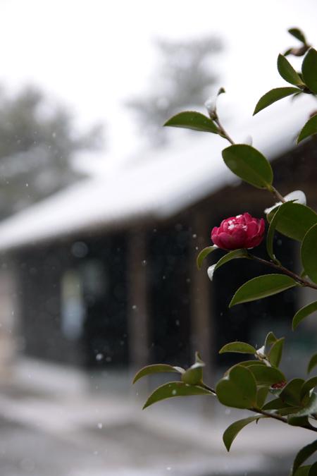 寒に咲く_e0180823_1657139.jpg