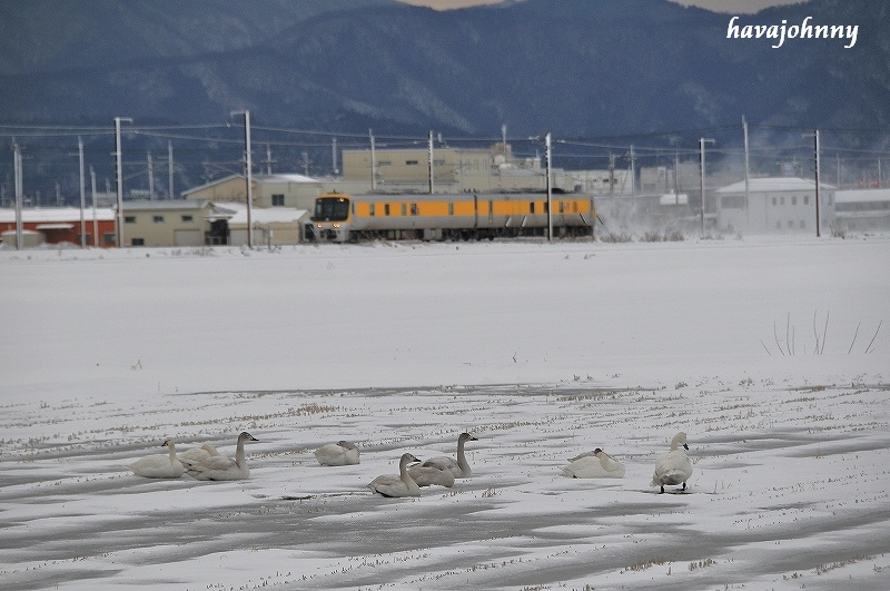 北びわこで白鳥に遊ばれる_c0173762_20385711.jpg