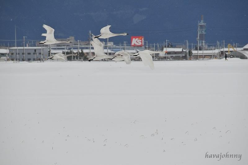 北びわこで白鳥に遊ばれる_c0173762_2038615.jpg