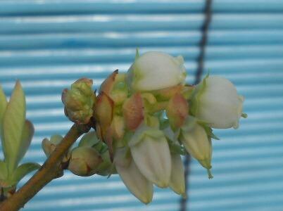 屋内促成栽培ブルーベリーの開花_f0018078_17372395.jpg