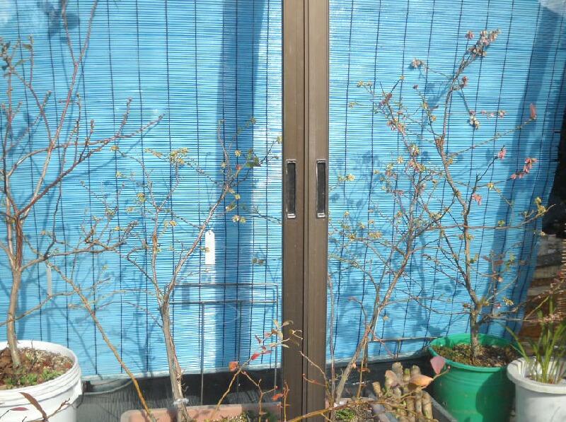 屋内促成栽培ブルーベリーの開花_f0018078_1741262.jpg