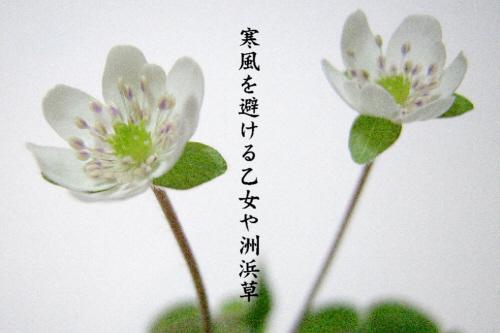 洲浜草_e0099713_214547.jpg