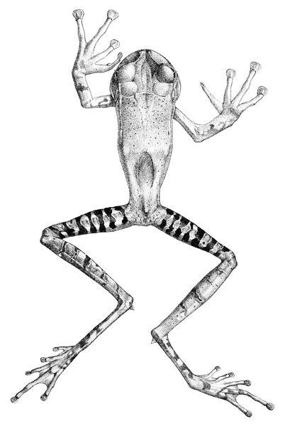 2億3千万年前に退化したカエルの下顎歯が2千万年前に再進化_c0025115_18451131.jpg