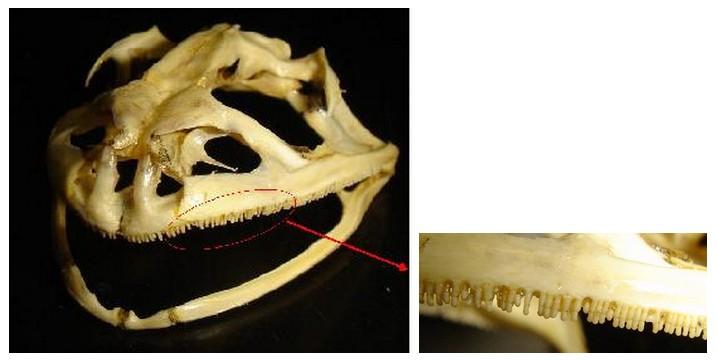 2億3千万年前に退化したカエルの下顎歯が2千万年前に再進化_c0025115_185315.jpg
