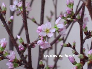 冬のサクラとセラピー♪_c0098807_19573789.jpg