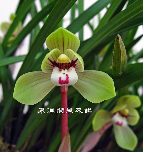 中国春蘭「端秀荷」                  No.939_d0103457_022184.jpg